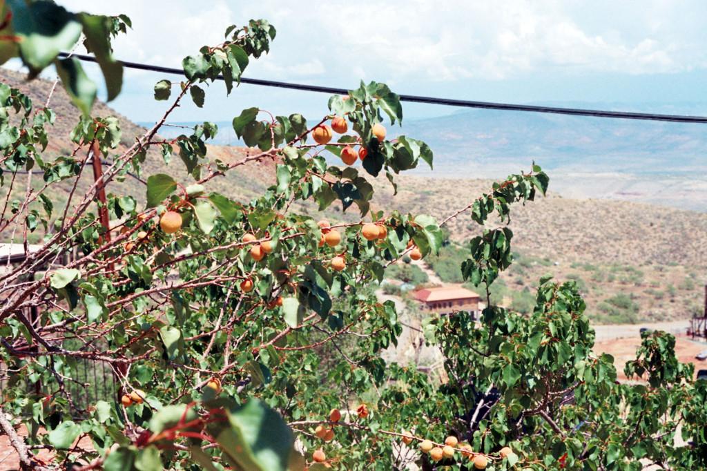 apricots-jerome