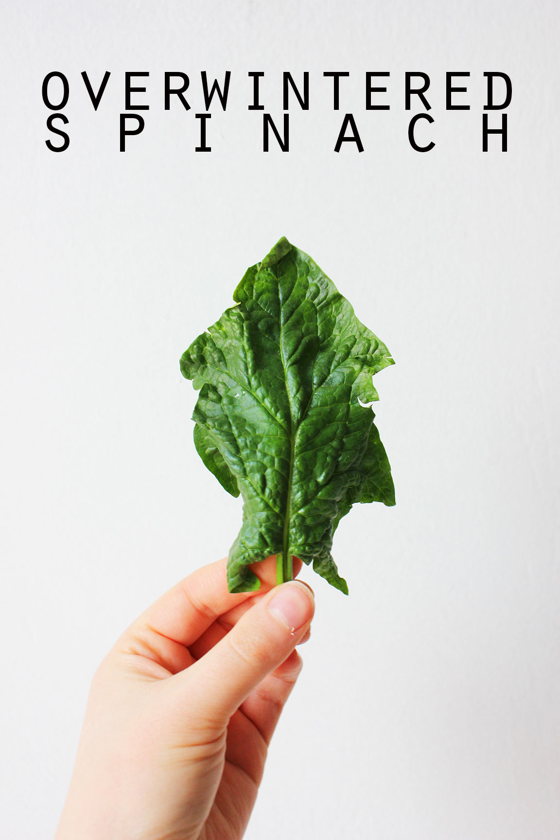 What it is overwintered spinach and what to do with it - autumn ...