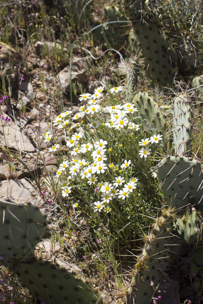 desert-wildflowers-5