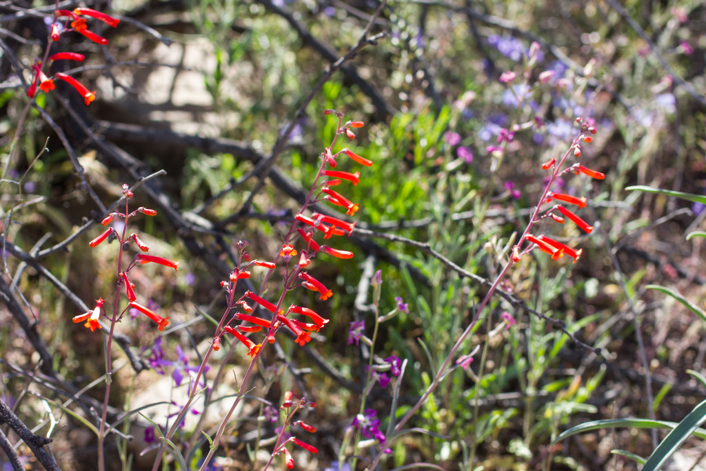 desert-wildflowers-6